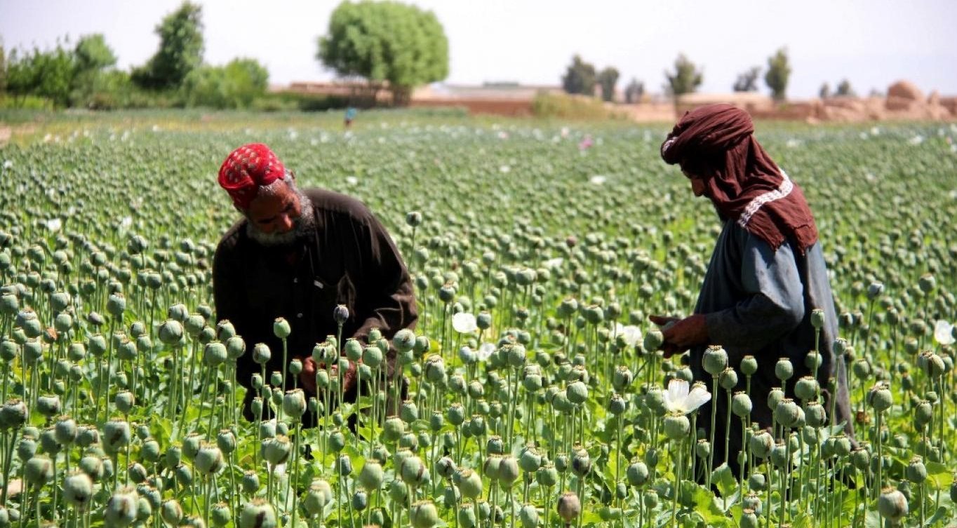 تا پایان ۲۰۲۰ محصول مواد مخدر در افغانستان به ۷ هزار تن میرسد