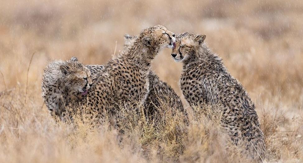 از میان ۲۴۰۰ عکس از یوزپلنگان در تانزانیا، نامیبیا، کنیا و آفریقای جنوبی انتخاب شد