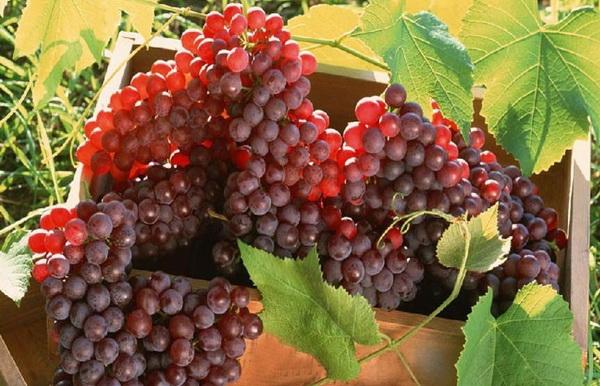 تولید هزار و ۸۰۰ تن انگور یاقوتی در شهرستان خوشاب