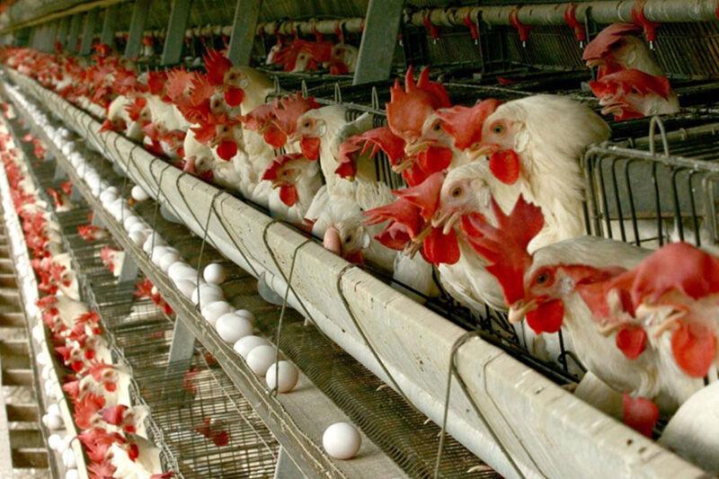 افزایش 70 درصدی تولید گوشت مرغ در خوشاب