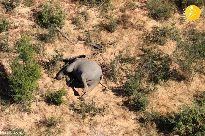 مرگ اسرارآمیز ۲۷۵ فیل در شمال جمهوری بوتسوانا