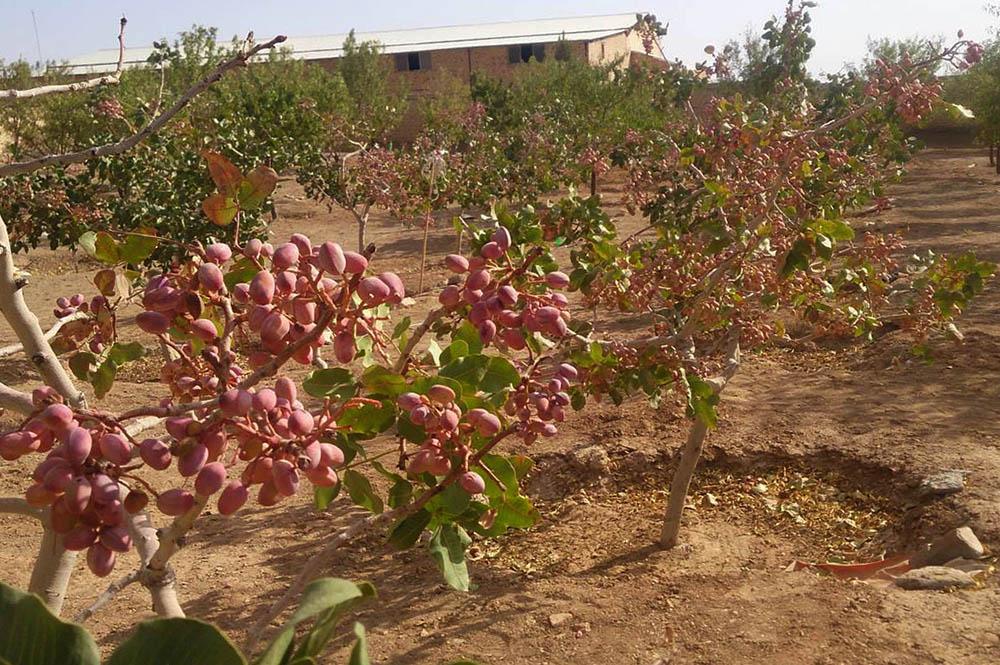 برداشت محصول پسته از سطح ۵ هزار هکتار باغات این شهرستان آغاز شد