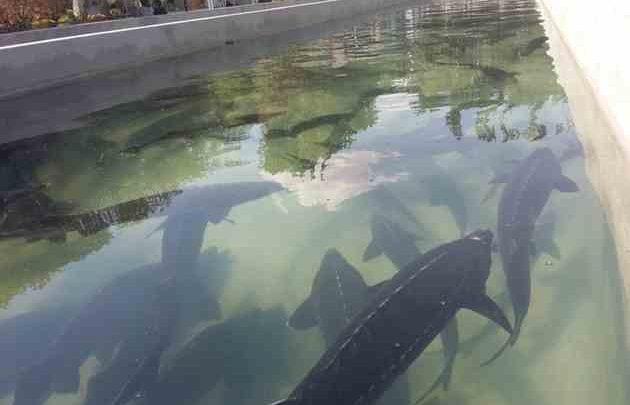 پرورش ماهی خاویاری در شهرستان سبزوار