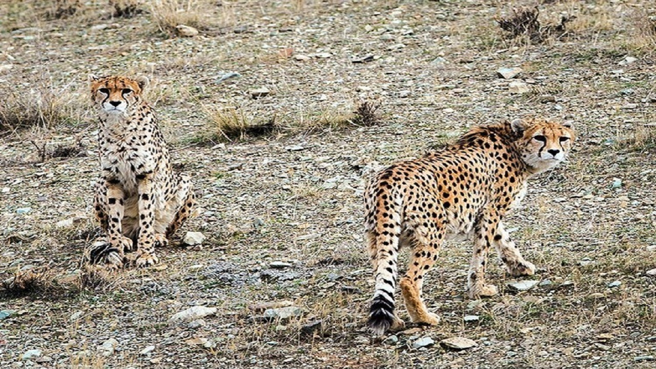 مشاهده دو یوزپلنگ در پارک ملی توران شاهرود