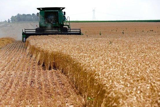 برداشت 50 هزار تن گندم از مزارع جوین