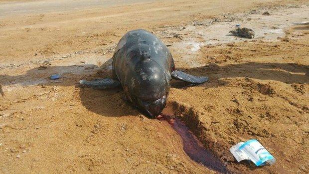 کشف لاشه یک دلفین در کیش