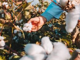 سرمای پاییز به مزارع پنبه و ذرت علوفهای خسارت زد