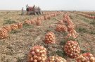 برداشت ۱۶ هزار تُن پیاز از کشتزارهای شهرستان جوین