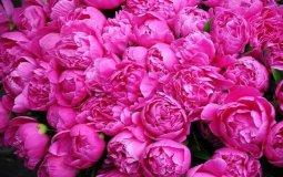 برداشت حدود ۲۰۰ تن گل محمدی از گلستانهای شهرستان