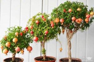 نحوه کاشت ۵ میوه پاییزی در گلدان؛ چگونه در خانه میوه پاییزی بکاریم؟