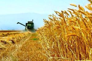 تولید گندم در خوشاب افزایش یافت
