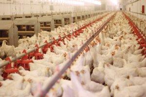 مرغ به شدت گران می شود
