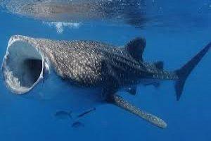لاشه یک کوسه نهنگ در میناب مشاهده شد