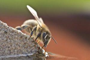 ۱۵ میلیون زنبور، قربانیِ قوانین برگزیت