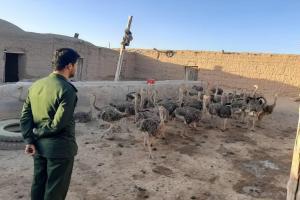 طرح پرورش شتر مرغ در منطقه فرومد