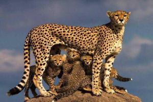 یوزپلنگ ایرانی هنوز در معرض انقراض قرار دارد