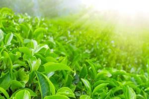 ترخیص چای به شیوه اعتباری با ارز اشخاص