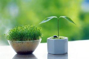 نحو کاشت سبزه عید با عدس