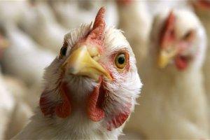 بخش هایی از مرغ که هرگز نباید خورده شوند!