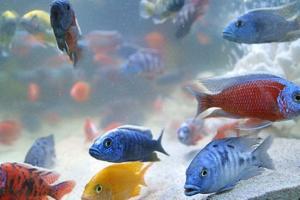 تولید 873 هزار قطعه ماهی زینتی در سبزوار