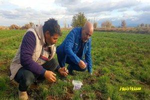 برداشت محصول زعفران از مزارع جغتای ادامه دارد