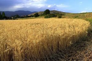 خرید بیش از 2/8 میلیون تن گندم در کشور