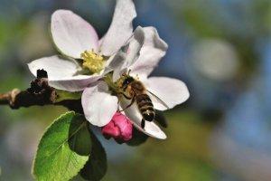 بازگشت زنبورهای کمیاب استرالیا پس از ۱۰۰ سال