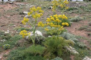 برداشت 10 تن گیاه دارویی در سبزوار