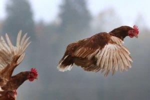 اولین مورد انتقال آنفلوآنزای مرغی به انسان در روسیه