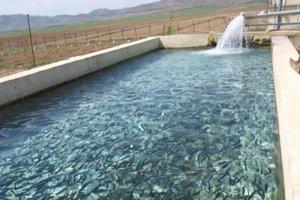 سبزوار همچنان قطب پرورش ماهی در استان و شرق کشور است